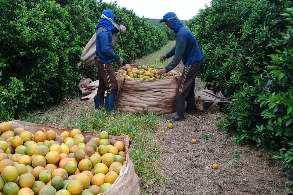 Zwei Arbeiter füllen einen Großsack mit geernteten Orangen auf einer brasilianischen Plantage