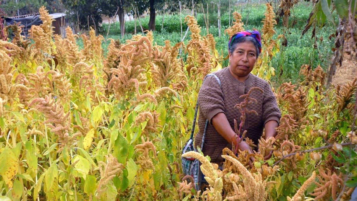 Landwirtschaft-Frau erntet Amaranth-Guatemala