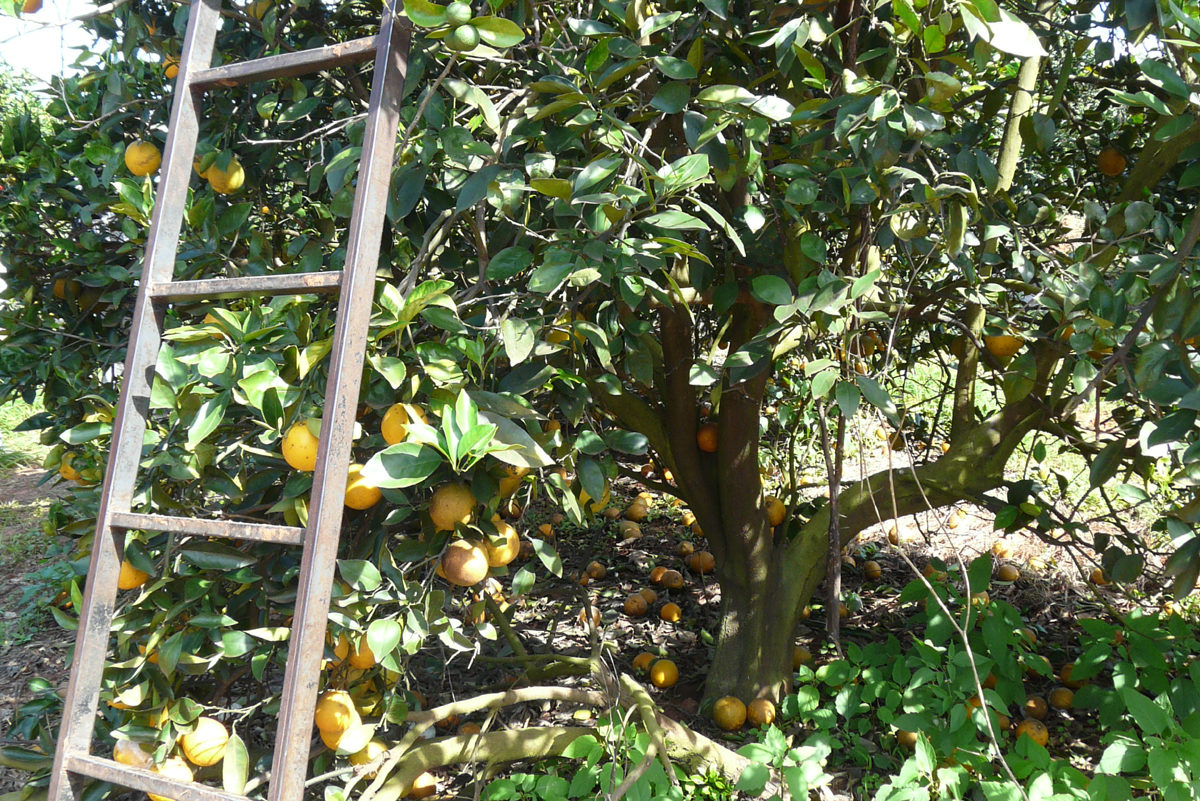 Diese einfachen Leitern werden bei der Ernte einfach and ie Bäume gelehnt, ein hohes Risiko. Arbeiter*innen stürzen nicht selten.