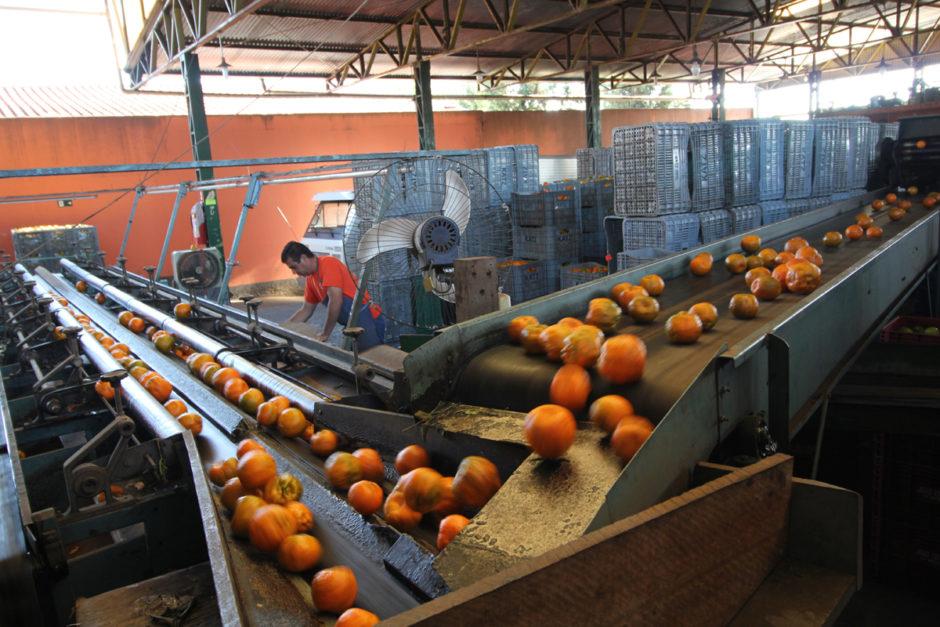 Geerntete Orangen auf einem Fließband