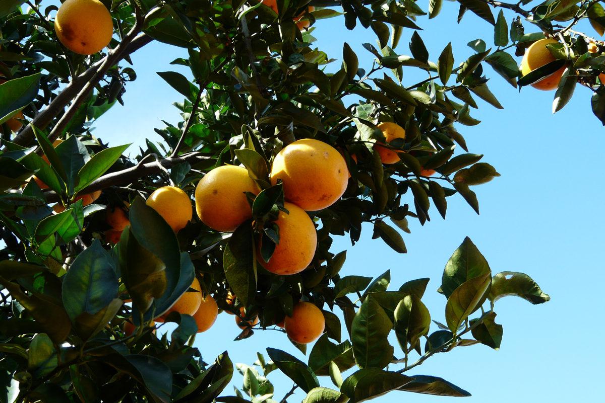 Orangenbaum auf brasilianischer Plantage