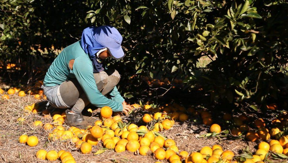 Pflücker hebt Orangen vom Boden_Attila Vizi_CIR_2013