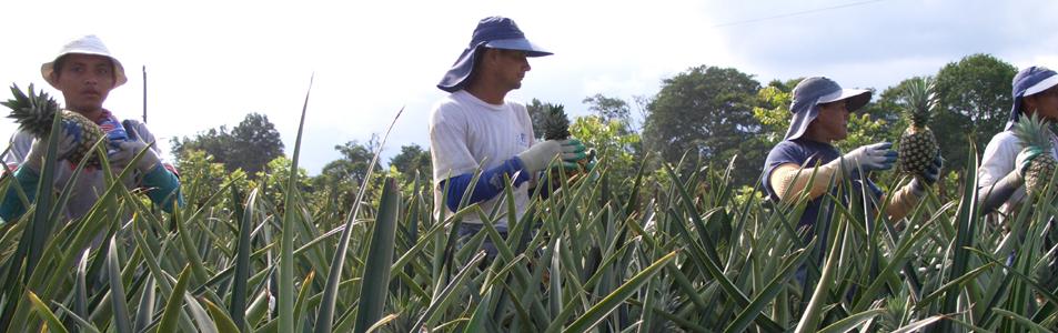 Die nahezu reifen Früchte werden geerntet und passieren dann die Reihe der Erntearbeiter bis sie den Anhänger erreichen, wo sie sorgsam gestapelt werden….