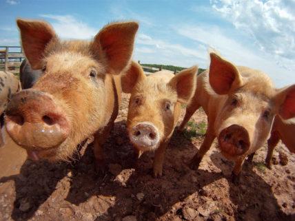 Glücklich wirkende Schweine auf einer Farm in den USA.