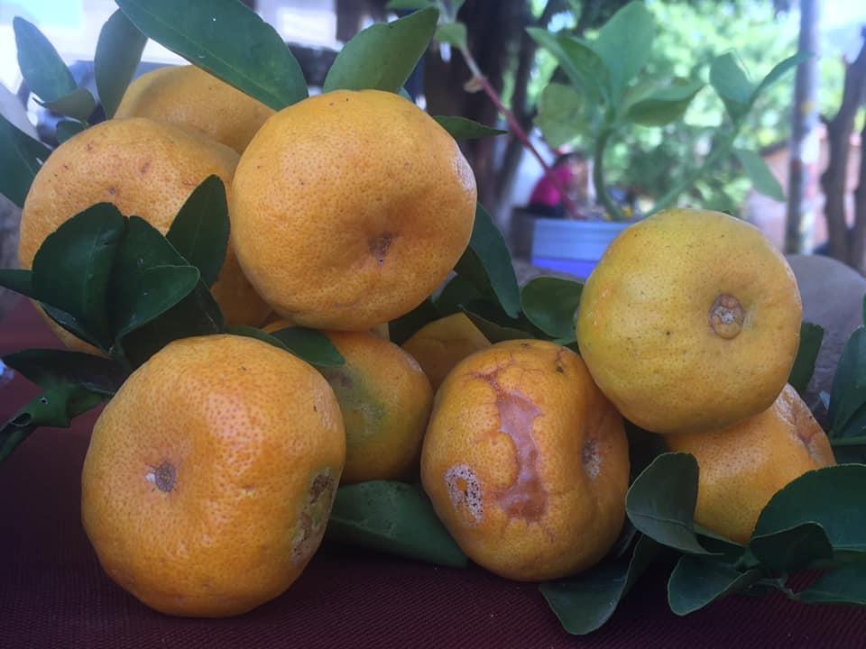 Selbst angebaute Zitrusfrüchte
