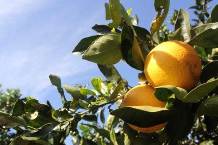 Zwei Orangen am Orangenbaum vor blauem Himmel