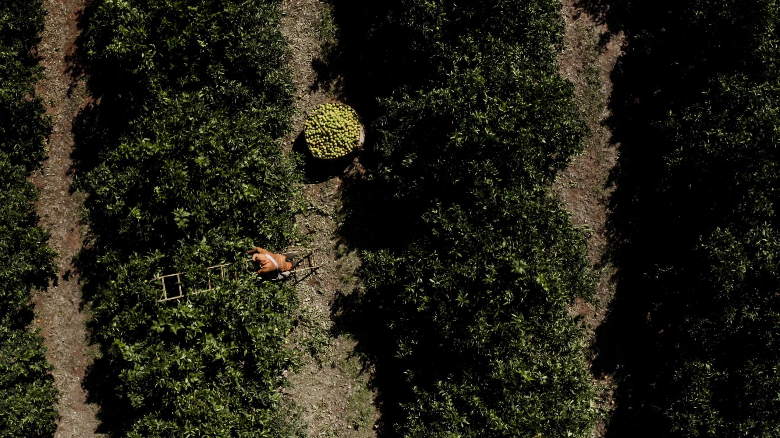 Arbeiter beim Orangenpflücken auf einer Plantage in São Paulo