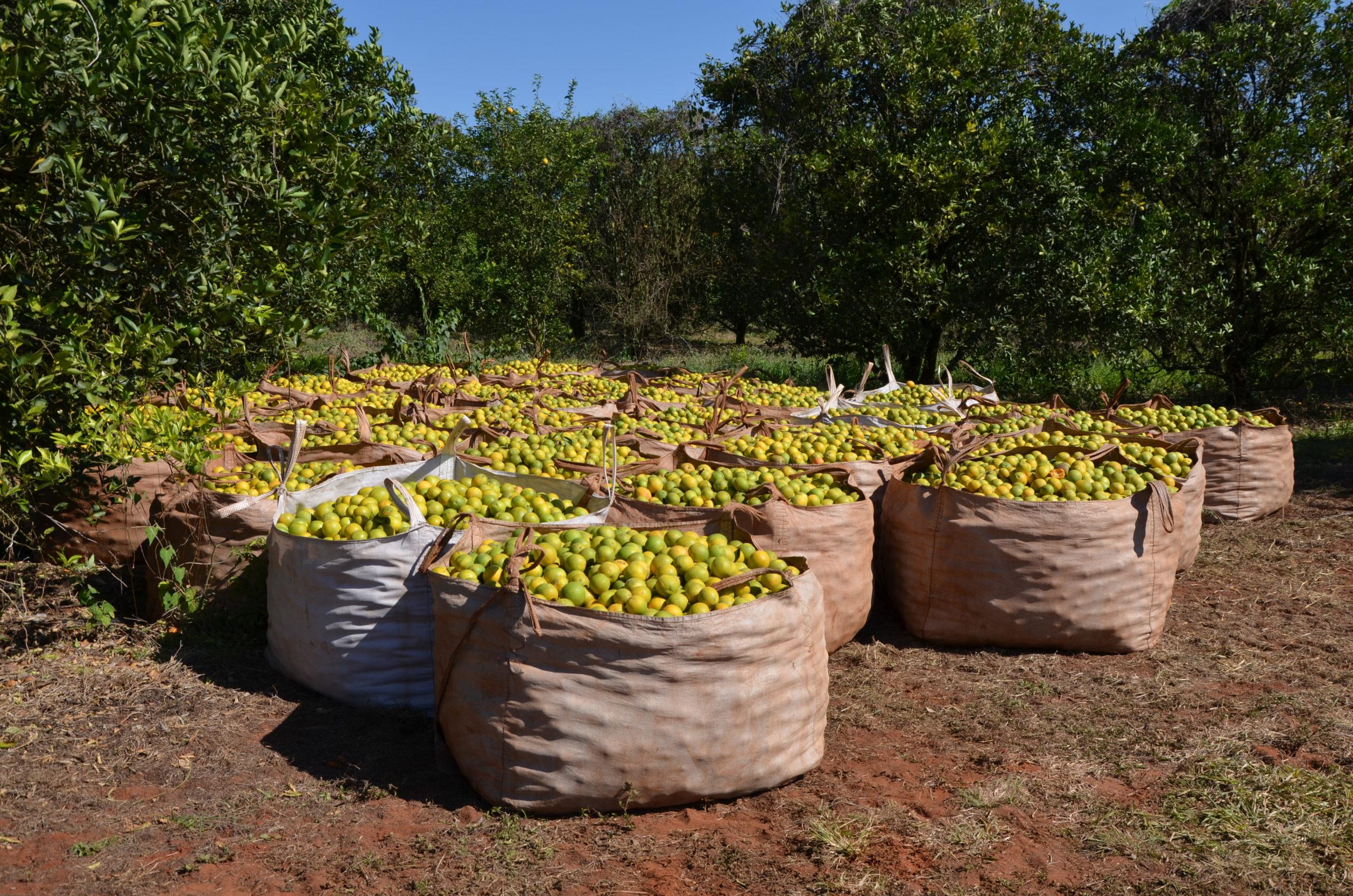 Große Stoffsäcke gefüllt mit geernteten Orangen