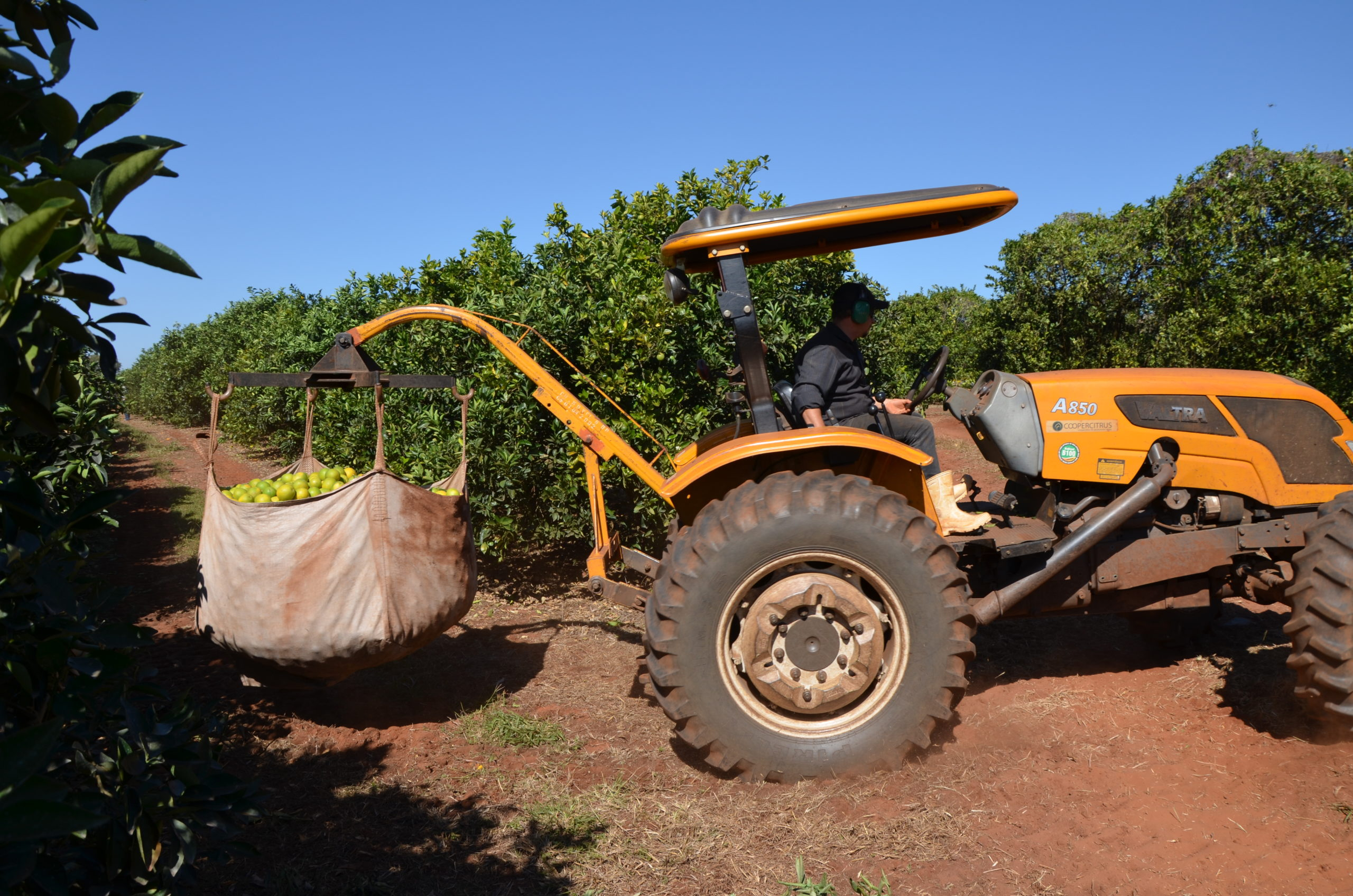 Traktor transportiert großen Sack mit geernteten Orangen.